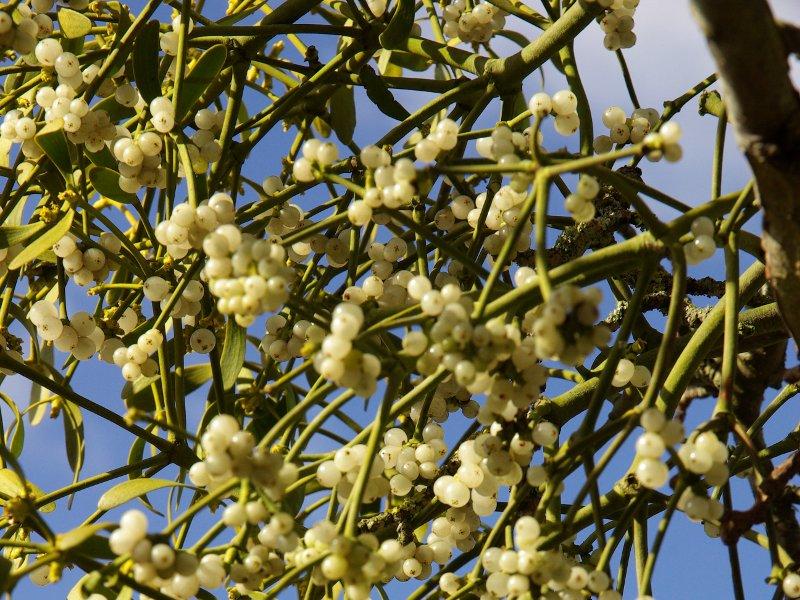 настойка омелы белой применение