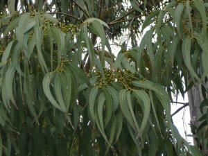 Листья эвкалипта прутовидного