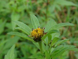 Цветок череды трехраздельной