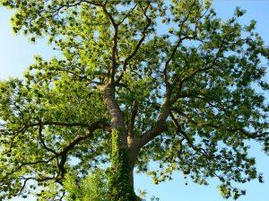 Дерево ясень высокий