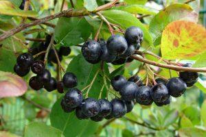 Арония черноплодная (рябина)