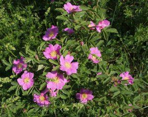 Цветущий куст шиповника майского