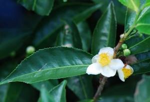Растение камелия китайская