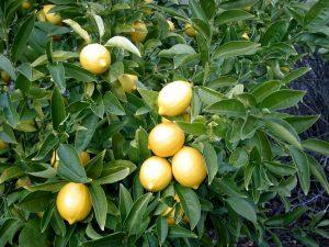 Лимон обыкновенный