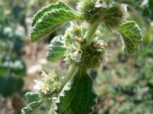 Растение шандра обыкновенная